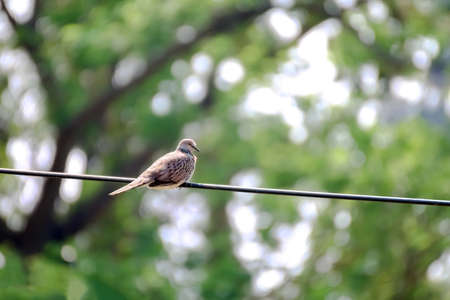 Dove bird on the electric cables wire