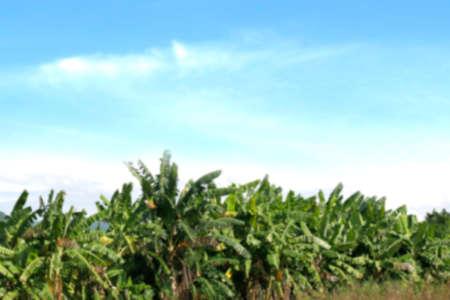 blurred banana tree plant farm for background Stok Fotoğraf
