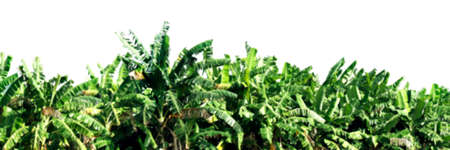 blurred banana tree plant farm on white for background