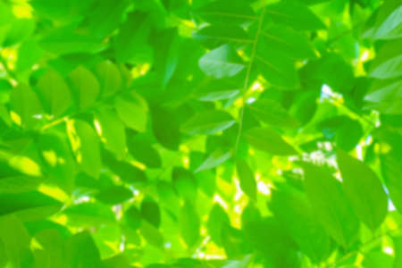 blurred leaf lush green for background, the leaves blur, foliage tree background blur