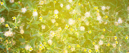 grass flower with sunlight morning time, wildflower for background