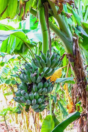banana raw on a banana tree Stok Fotoğraf