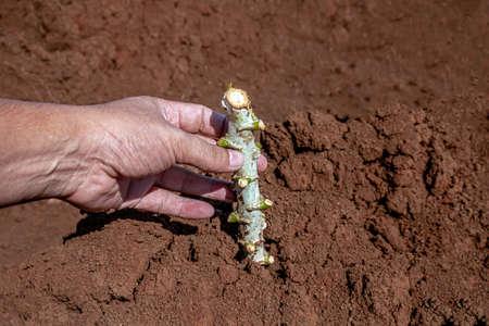 cassava stalk in hand, tapioca plantation in farmland, yucca agriculture plant concept