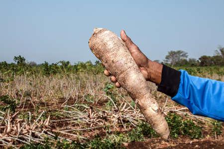 cassava in hand, tapioca in farmer hand in harvest season, cassava plantation land