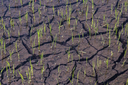 rice seedlings on cracked mud dirt, rice young plant sprouts and cracked soil at rice field