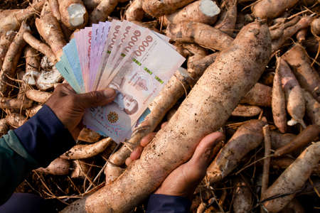 cassava and hands holding banknote money thai baht, money in manioc planting, money in cassava agricultural land, tapioca trading or selling concept 免版税图像