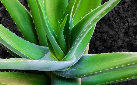 aloe vera leaf plant on soil, aloe vera nature herb 免版税图像