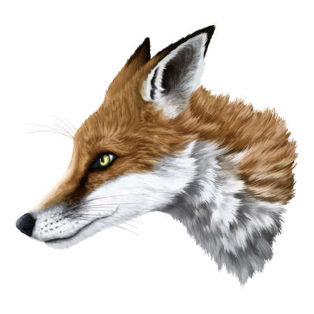 illustrative: Realistic illustrative fox portrait with detailed fur Illustration