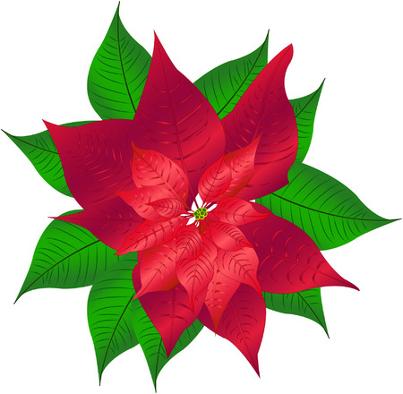 characteristic: Poinsettia flower characteristic of Christmas