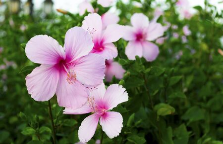 Beautiful Group of Pink Hibiscus flower in the Park