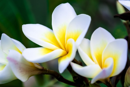 Beautiful Group of White Frangipani Flower in the Park  Stock Photo