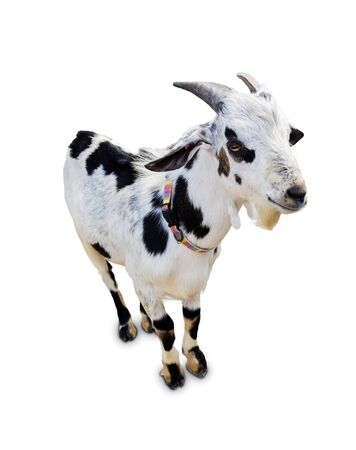 A young Goat standing up isolated on a white background.