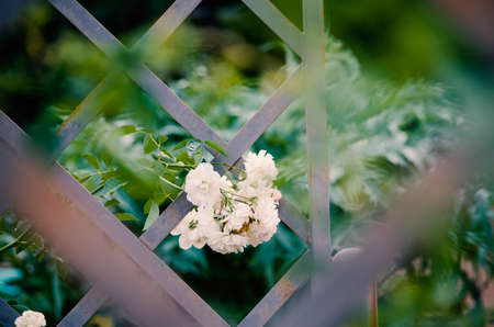 Romantic garden shows white roses growing on lattice with blurred background.