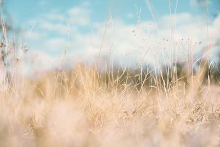 Peaceful nature scene with blue sky and dry tan grass for background image.