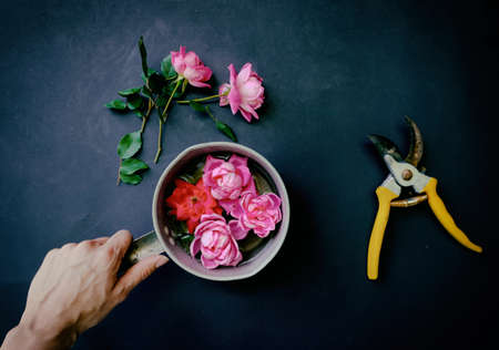 Pink rose floral arrangement flat lay with gardening sheers for flower concept.  Shows hand holding antique pot view from above. Banque d'images