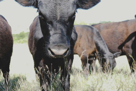 Black angus cows in rural farm field close up shows calf for beef industry.