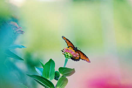 Butterfly spreads wing for peaceful nature image, blurred background. 版權商用圖片