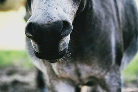 Cute mini donkey portrait shows nose with wet whiskers closeup. Imagens