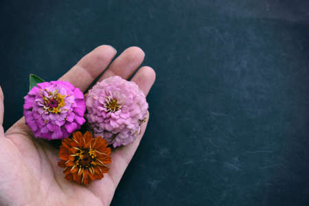 Copy space on black backdrop by hand holding pink and orange Zinnia flower heads from garden.