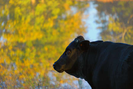 Black Angus cow portrait with fall color reflection off pond in background.