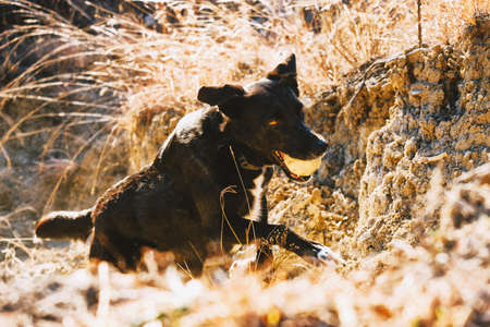 Adopted pet black dog runs up canyon dirt with ball to play fetch.