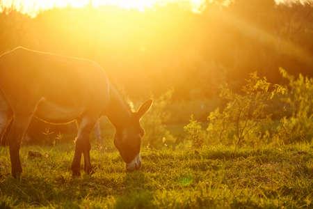 Mini donkey grazing during intense summer sunrise on farm.