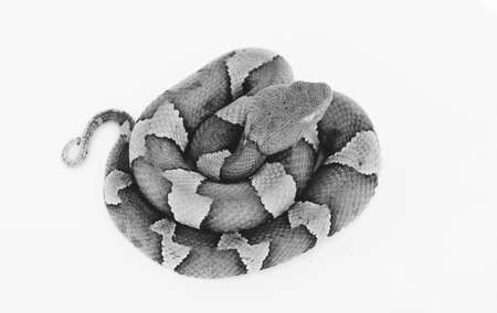 Isolated venemous Copperhead snake in black and white.