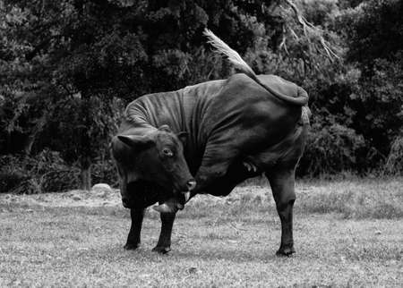 Cow with itch in black and white.