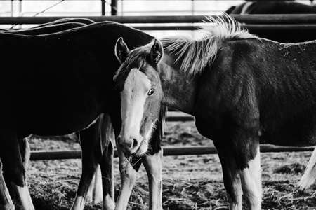 Horse looking at camera in barn closeup, black and white. Stock Photo
