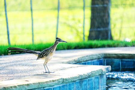 Roadrunner bird standing by pool during summer. Stock Photo