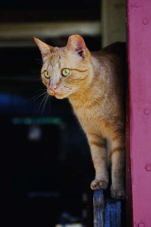 Closeup portrait of yellow barn cat balancing in doorway.