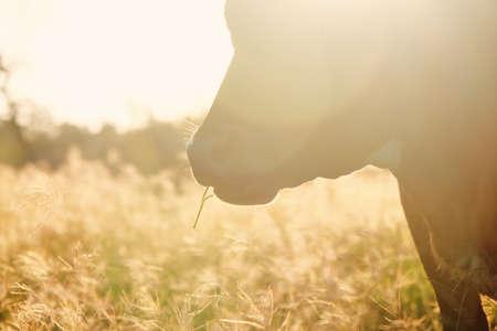 Cow closeup grazing in pasture during fall season sunrise on rural farm.
