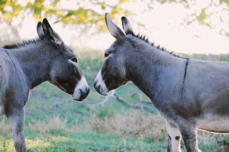 Mini donkey friends in rural pasture, shows friendship in domestic  farm pet.