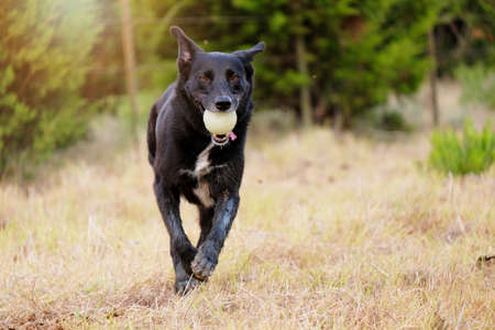 Cute black dog playing fetch in rural green field looking at camera. Stock Photo