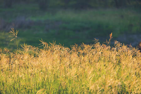 Soft lighting on native Texas grass during fall season in rural pasture. Stock Photo