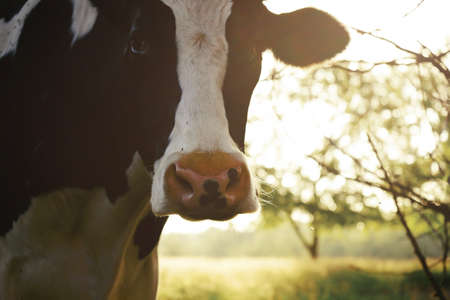 Holstein dairy cow looking at camera for agriculture farm concept.