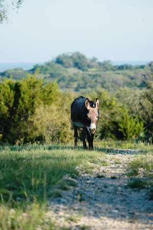 Mini donkey walking by path with hills of rural Texas landscape in background.
