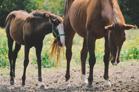 Foal shows affection toward mare mom on ranch. Stock Photo