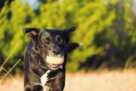 Black adopted mutt dog playing fetch outdoors close up with blurred background.