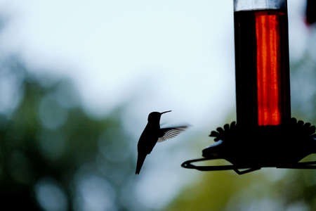 Hummingbird flying to feeder, shows silhouette of bird in nature during summer.