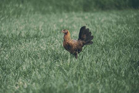 Free range chicken in grass on farm.