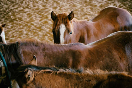 Group of brown quarter horses in arena, view from above. Stock Photo
