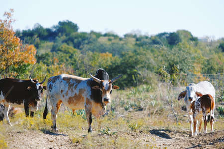 Zebu cattle family on farm in Texas, looking at camera.