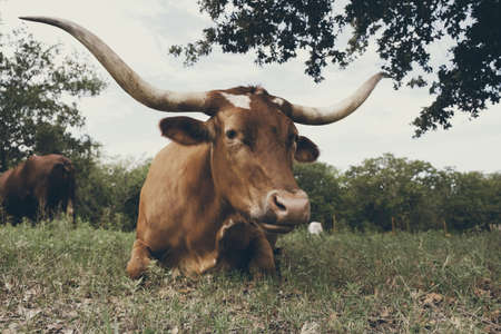 Large Texas Longhorn cow laying in natural landscape on rural farm, looking at camera closeup.