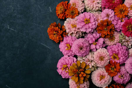 Group of pink and orange Zinnia flower heads flat lay on dark background with copy space for banner graphic. Stock Photo