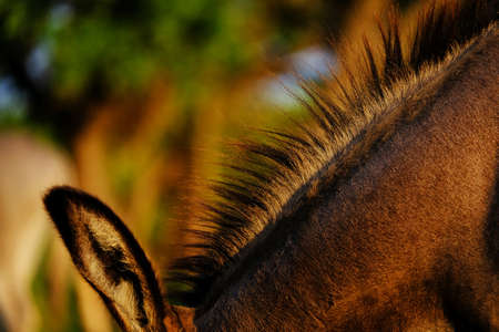 Mini donkey mane while grazing during sunrise. Stock Photo