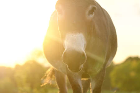 Mini donkey in farm pasture looking at camera during sunset. Stock Photo