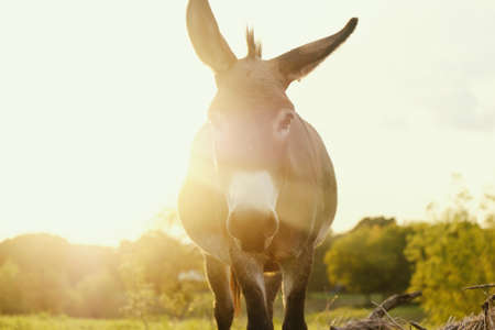 Guardian mini donkey concept in pasture during sunset, looking at camera closeup.