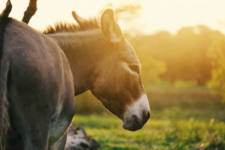 Mini donkey looking away for portrait during sunset in rural pasture.