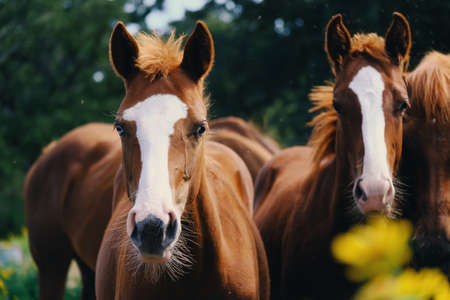 Close up portrait of brown horses looking at camera.